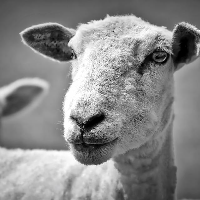 """Sheep"" stock image"