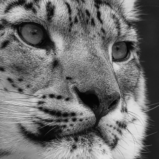 """Snow Leopard"" stock image"