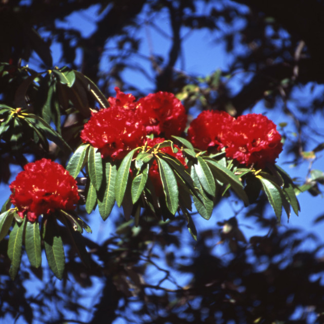 """""""Rhododendron"""" stock image"""