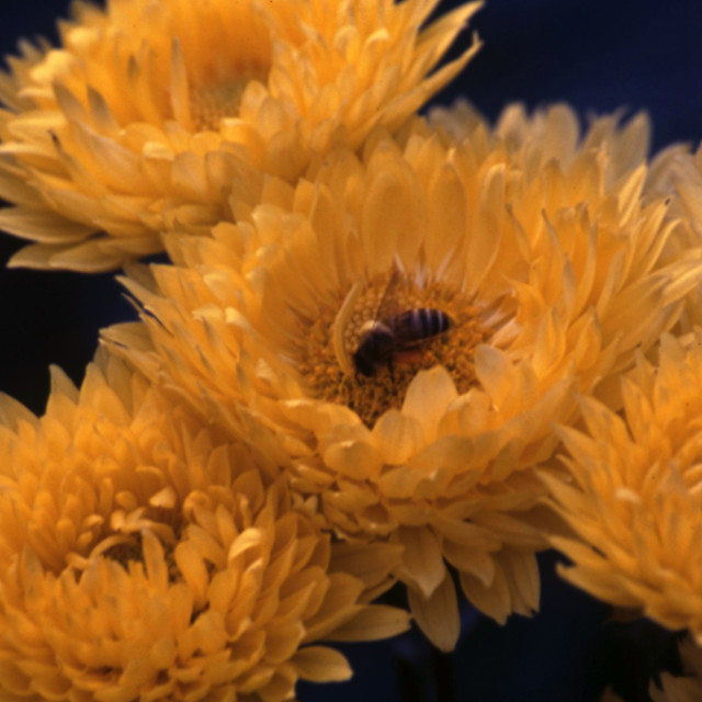 """Crysanthemum with bee"" stock image"