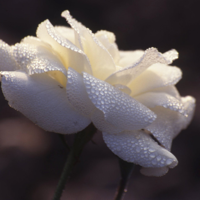 """White rose in dew"" stock image"