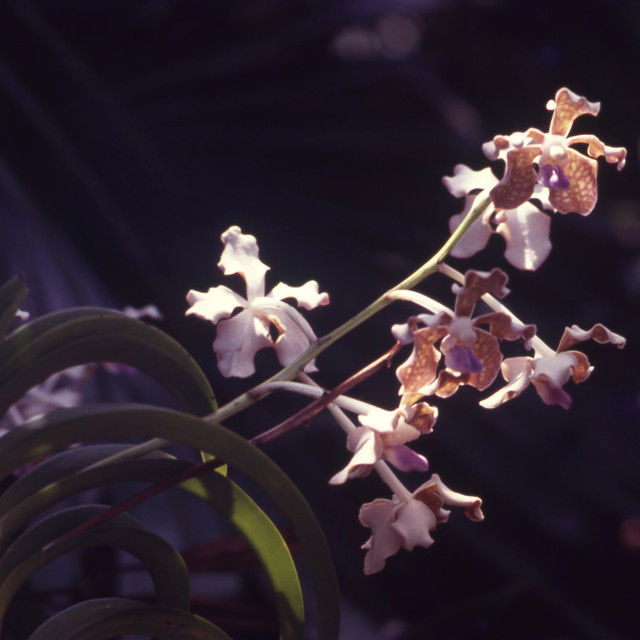 """Orchid flowers"" stock image"