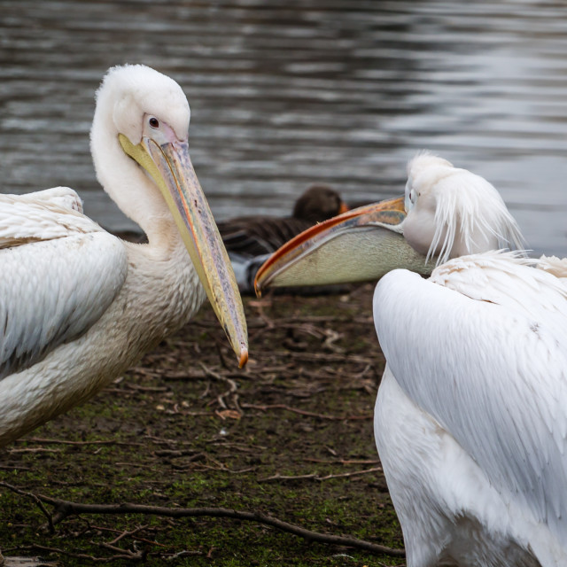 """""""Pelicans Chatting in St. James Park London."""" stock image"""