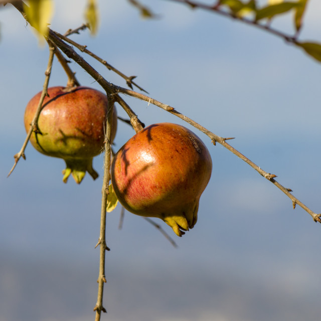 """Ripe pomegranate (Punica granatum) hanging on tree,"" stock image"
