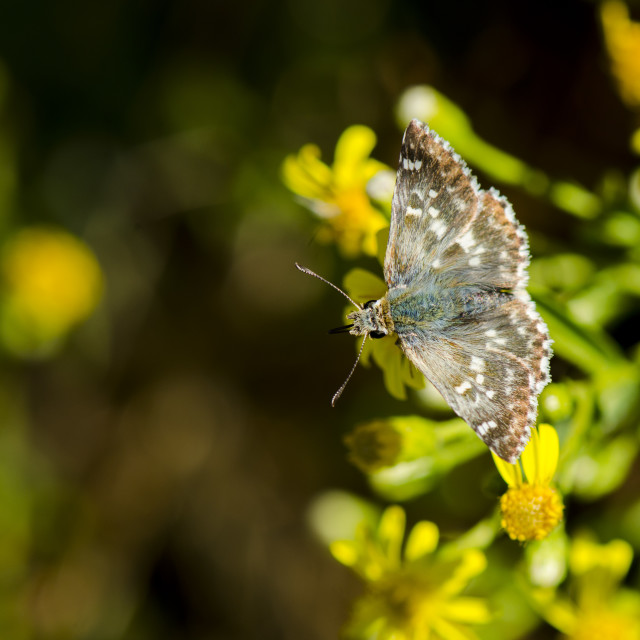 """Sage Skipper, Muschampia proto, butterfly"" stock image"
