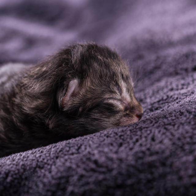 """One day old tabby kitten sleeps on dark blanket"" stock image"