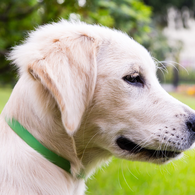 """Portrait of young golden retriever"" stock image"