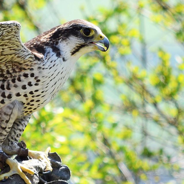 """Lanner falcon/Peregrine hybrid"" stock image"