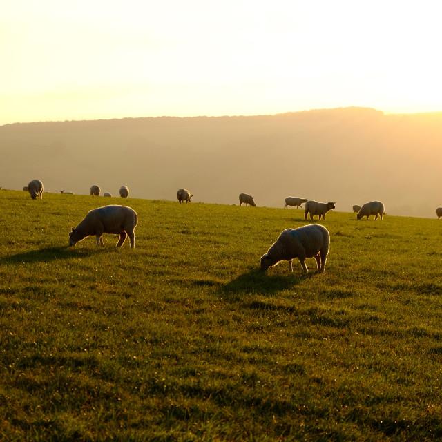 """Sheep grazing at sunset"" stock image"