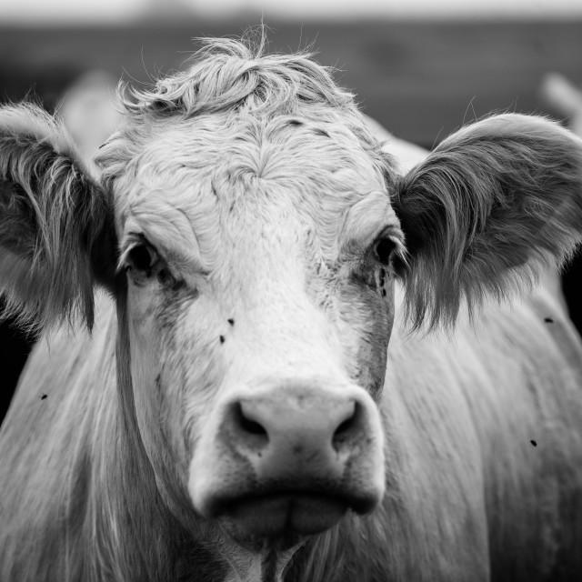 """""""Monochrome cow"""" stock image"""