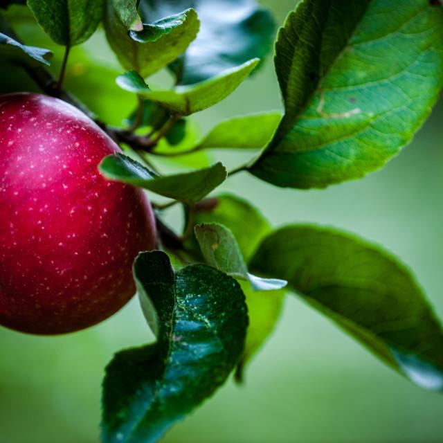"""Apple on a tree"" stock image"
