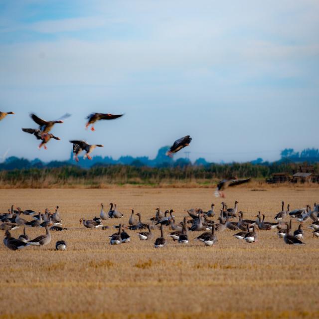 """Greylag geese"" stock image"