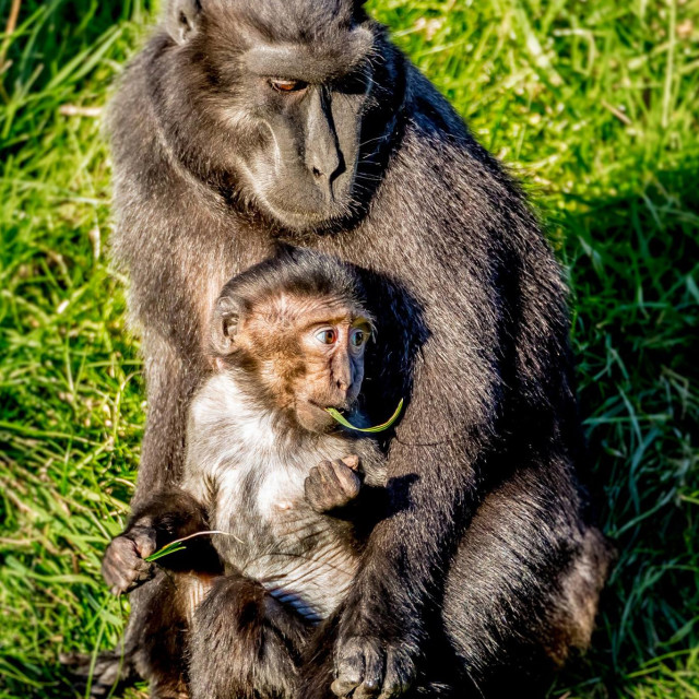 """Macaques"" stock image"