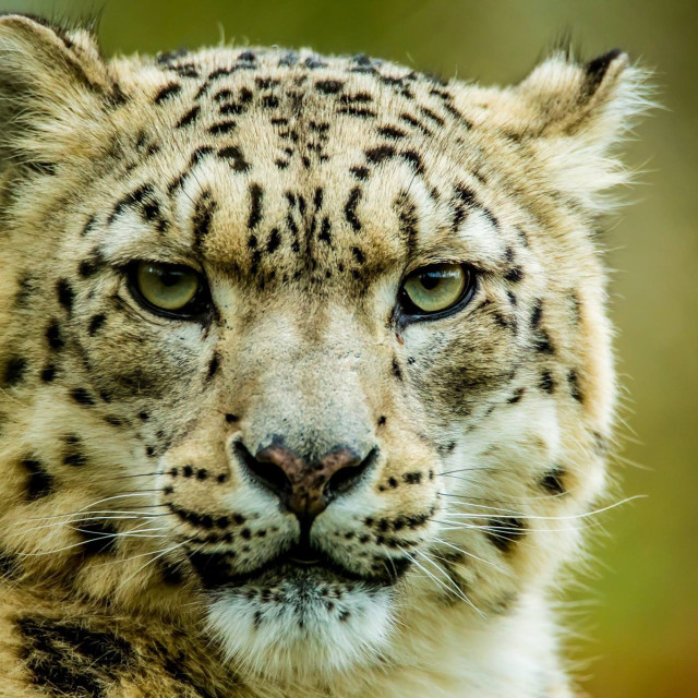 """Snow Leopard"" stock image"