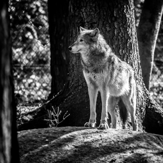 """Wolf between trees"" stock image"