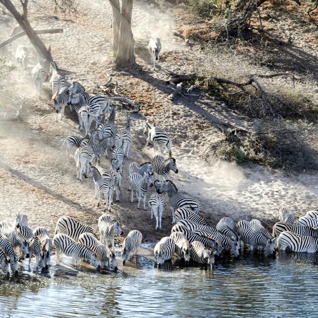 """Zebra migration"" stock image"