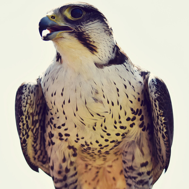 """lanner/peregrine falcon hybrid"" stock image"