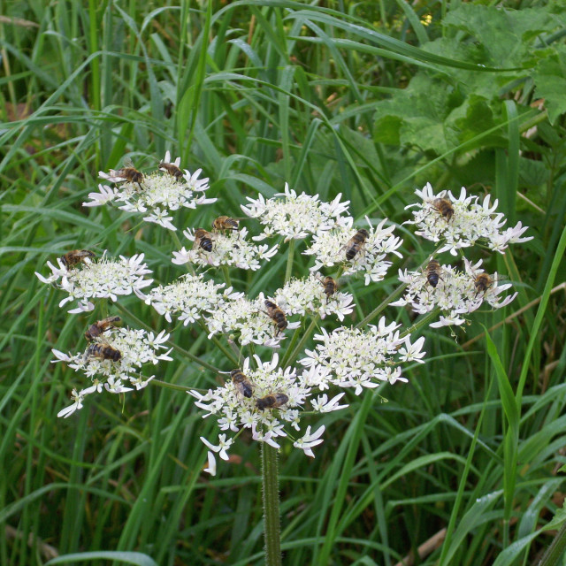 """""""Hogweed with hoverflies"""" stock image"""