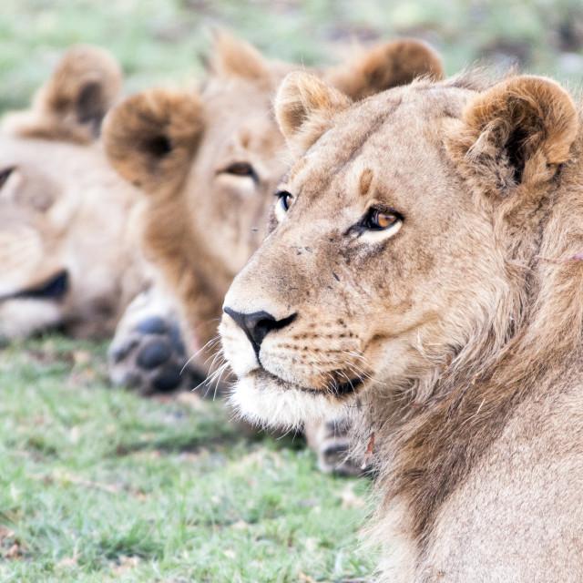 """Lion Siblings"" stock image"