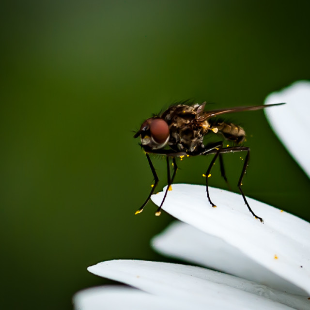 """""""Fly on daisy"""" stock image"""