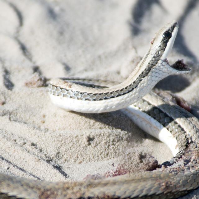 """Attacking snake"" stock image"