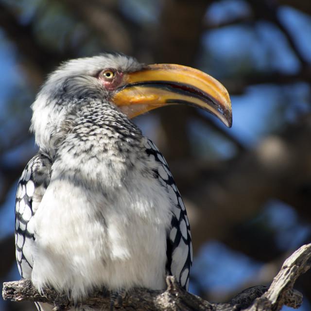 """Yellow billed hornbill"" stock image"