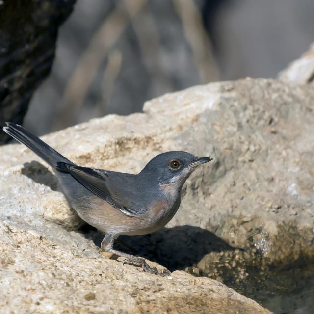 """Sardinian Warbler male."" stock image"