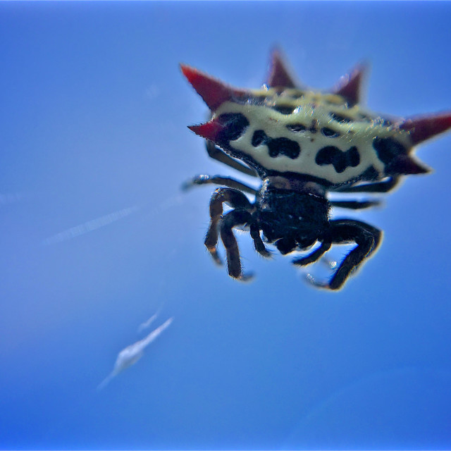 """Close Encounter - Spiny Orb Weaver Spider"" stock image"