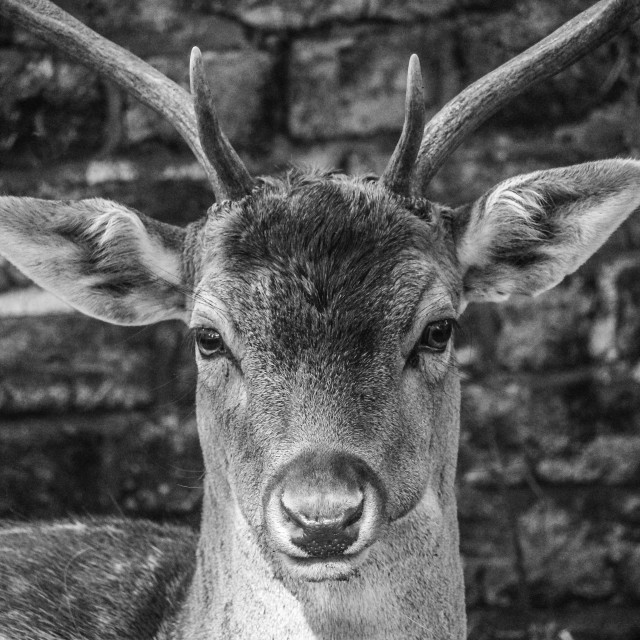 """Deer Stare"" stock image"