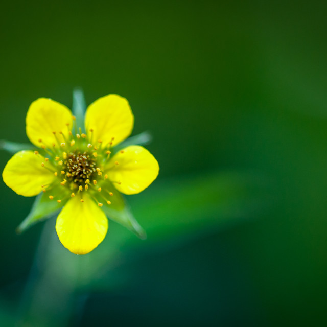 """Wood avens"" stock image"