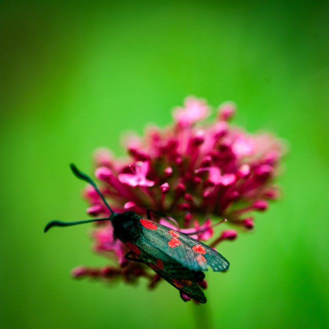 """Burnet moth"" stock image"