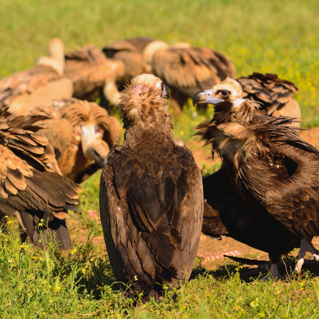 """Cinereous vulture with griffon vultures"" stock image"