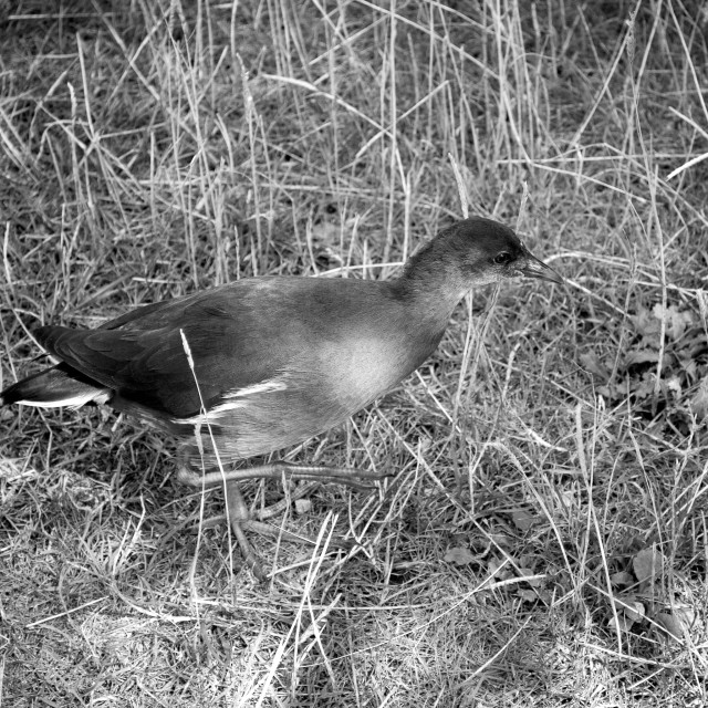 """Young Moorhen"" stock image"