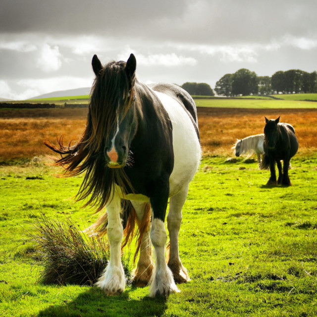 """Long Haired Horse"" stock image"