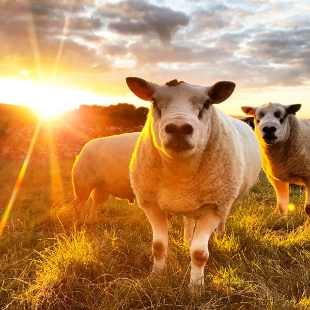 """Sunset Sheep"" stock image"