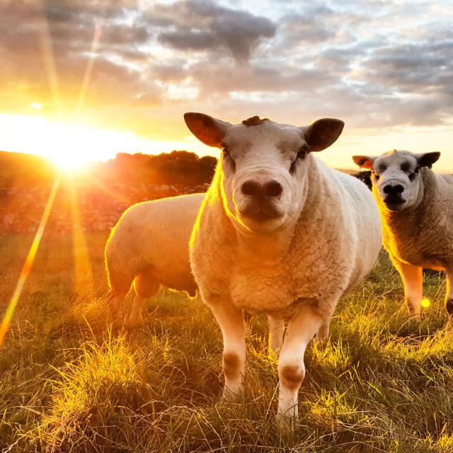 """Sunset Sheep"" stock image"