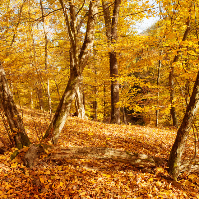 """""""Golden sunny trees in autumnal forest"""" stock image"""