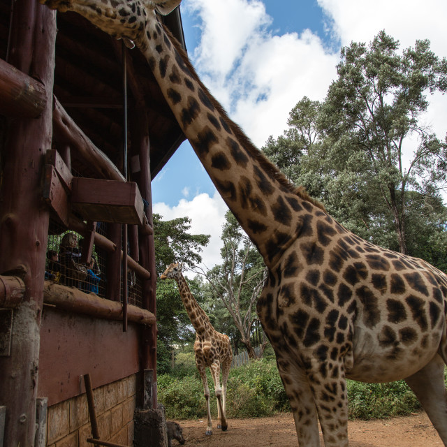 """Giraffe feeding time"" stock image"