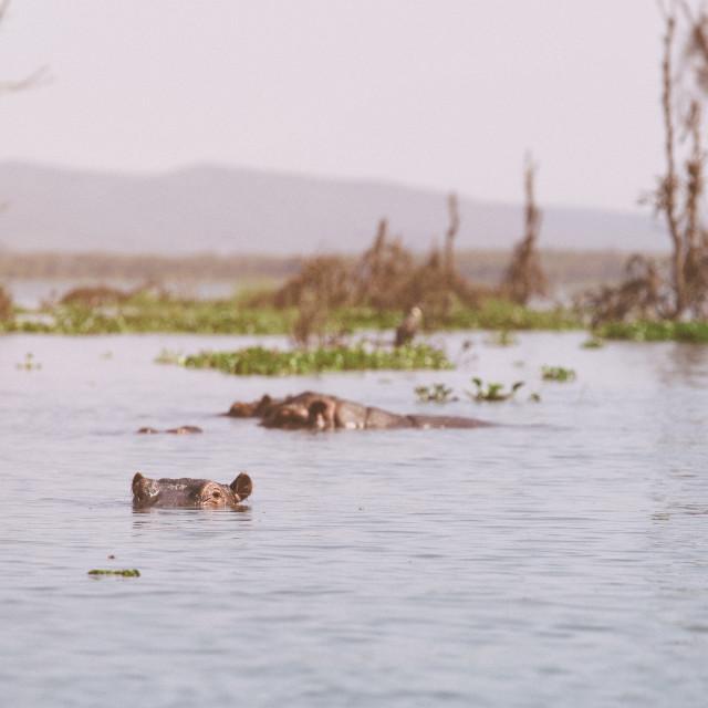 """Hippos bathing"" stock image"