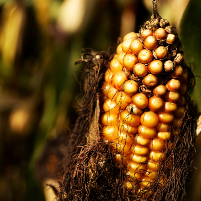 """Maize"" stock image"
