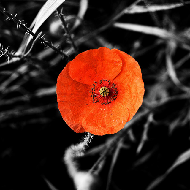 """""""Red poppy - pop out"""" stock image"""