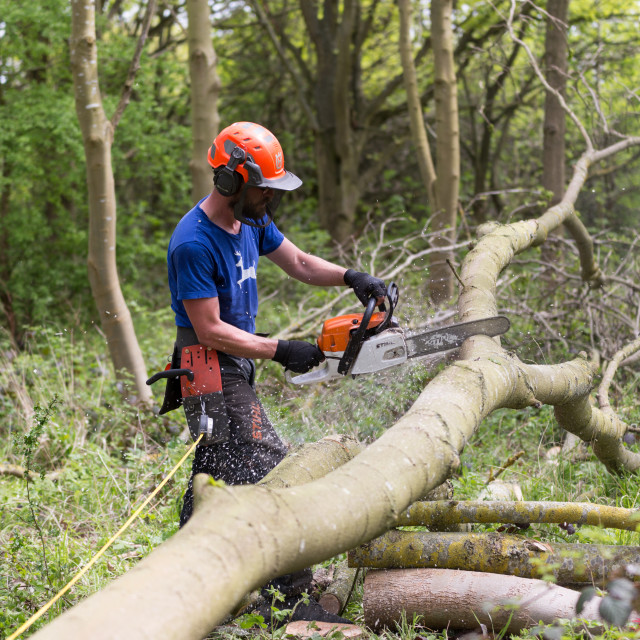 """Male tree surgeon cutting a felled tree"" stock image"