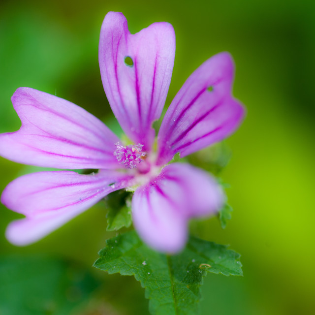 """Common mallow"" stock image"