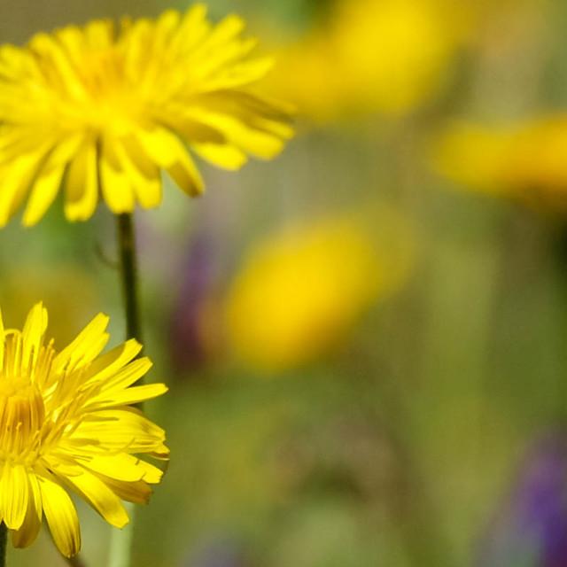 """""""Daisy - yellow"""" stock image"""