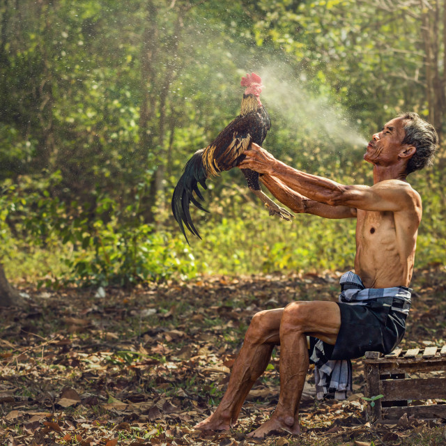 """""""Asian old man blowing water to Thai gamecock for cleaning, Countryside..."""" stock image"""