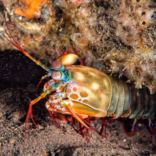 """Mantis Lobster defending eggs close up macro"" stock image"