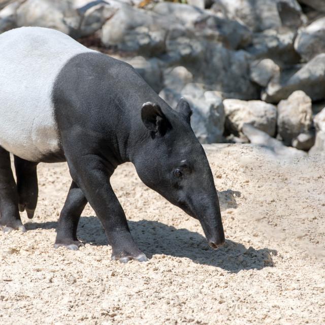 """malayan tapir portrait coming to you"" stock image"
