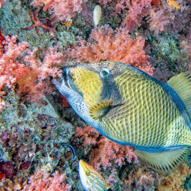 """""""titan trigger fish in Maldives"""" stock image"""
