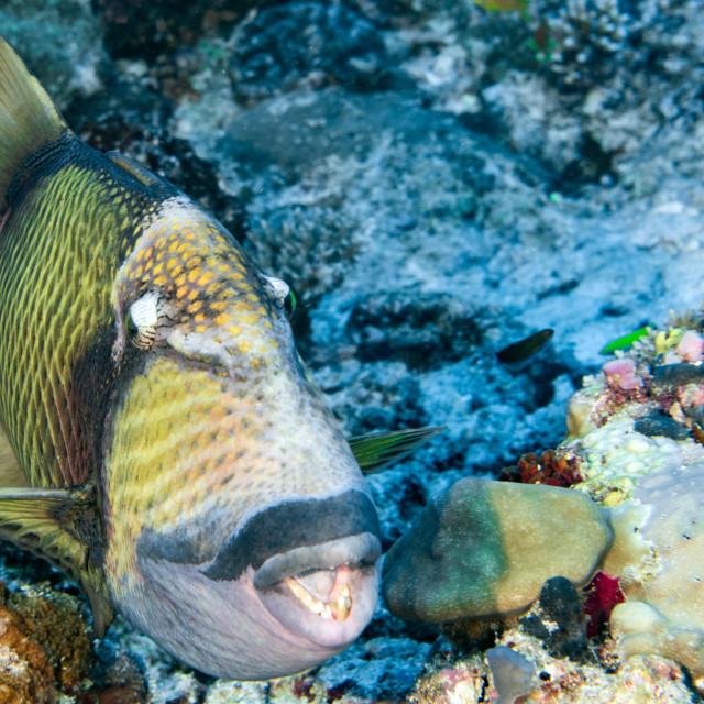 """""""titan trigger fish in Maldives close up portrait"""" stock image"""