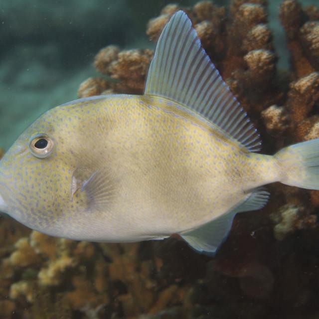 """Trigger fish"" stock image"